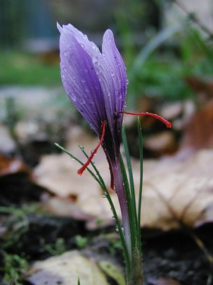 Saffran_crocus_sativus_moist