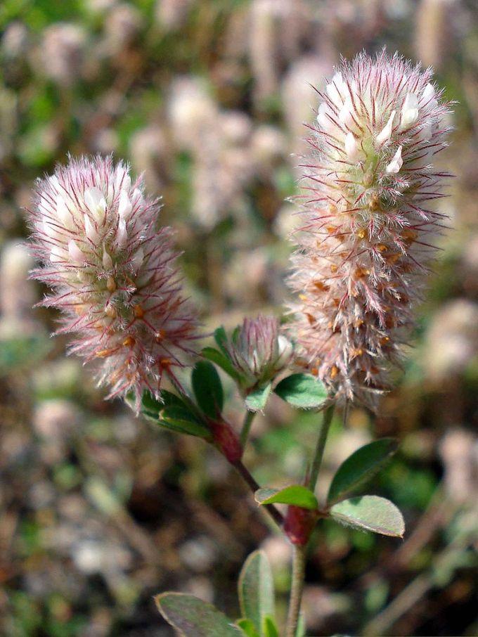 800px-Trifolium_arvense_W hasenklee kassiristik