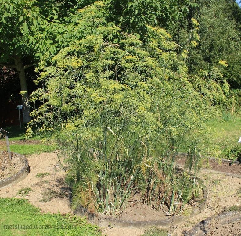 Apteegitill(Foeniculum vulgare Mill. ssp vulgare)