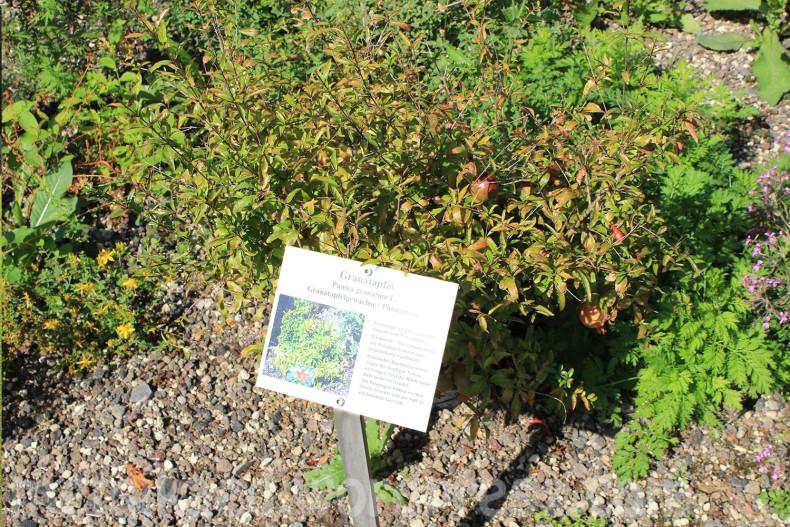 Granaatõun(Punica granatum L.)