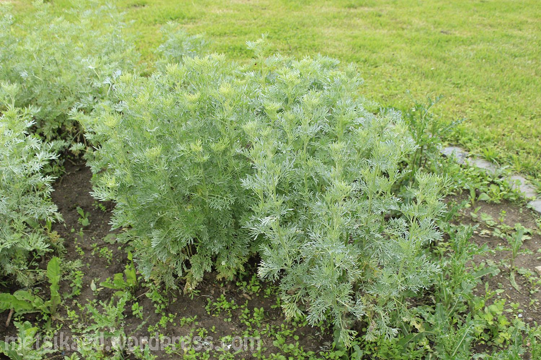 Sidrunpuju(Artemisia abrotanum L.)