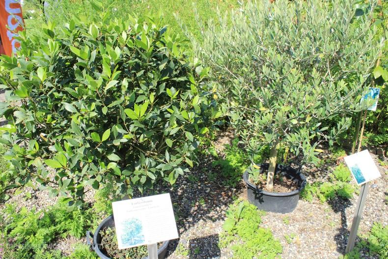 Loorberipuu(Laurus nobilis L. )  ja Oliivipuu(Olea europaea)