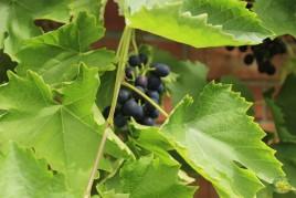viinamarjad (2)